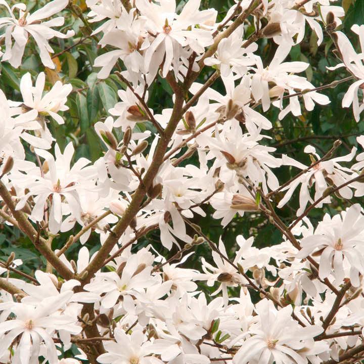 Magnolia stellata Plant