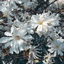 Magnolia stellata Plant - Royal Star