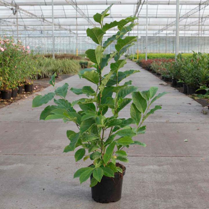 Magnolia Plant - Susan