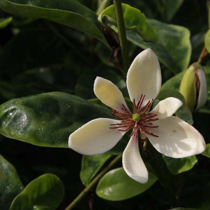 Miscanthus sinensis Plant - Gracillimus