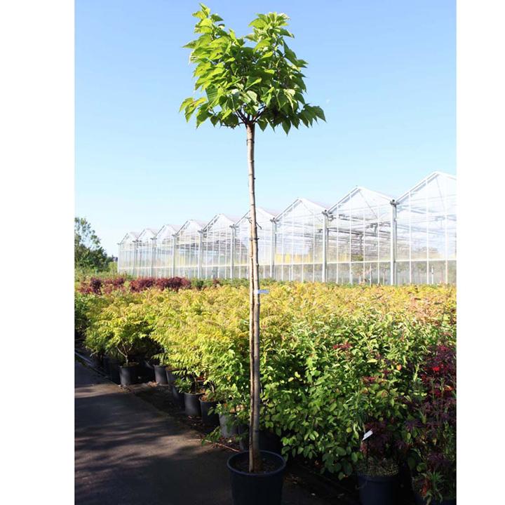 Nandina domestica Plant