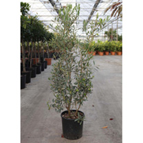 Osmanthus burkwoodii Plant