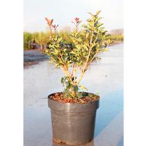 Osmanthus heterophyllus Plant - Purpureus