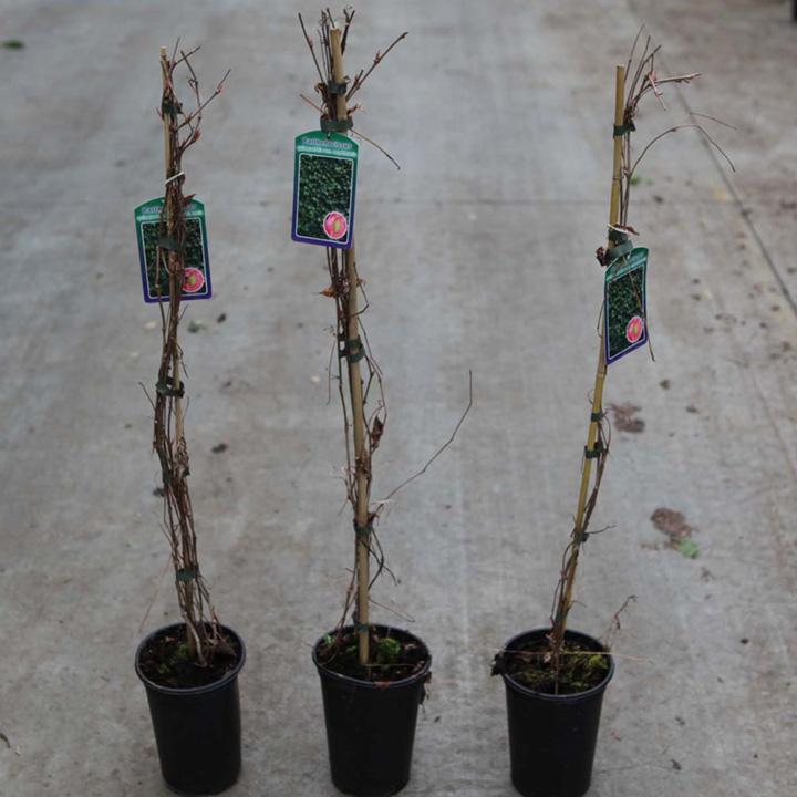 Parthenocissus quinquefolia Plant - Troki  Redwall®
