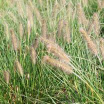 Pennisetum alopecuroides Plant - Hameln