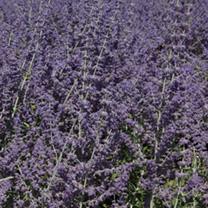 Perovskia atriplicifolia Plant - Silvery Blue