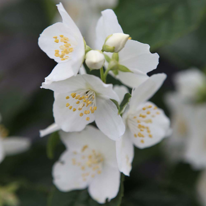 Philadelphus coronarius Plant - Aureus