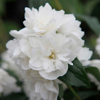 Philadelphus Plant - Frosty Morn