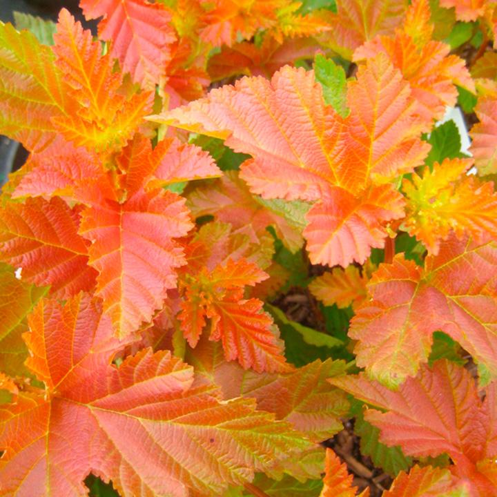 Physocarpus opulifolius Plant - Amber Jubilee® First Editions®