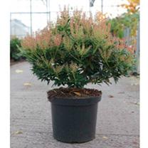 Pieris japonica Plant - Debutante