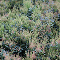 Pieris japonica Plant - Little Heath