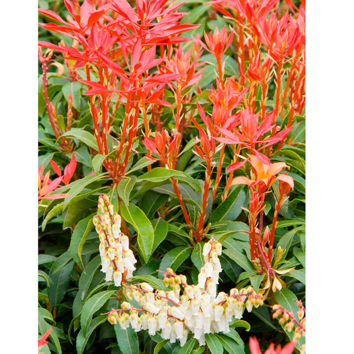 Pieris japonica Plant - Mountain Fire