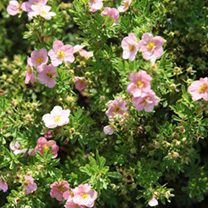 Potentilla fruticosa Plant - Lovely Pink