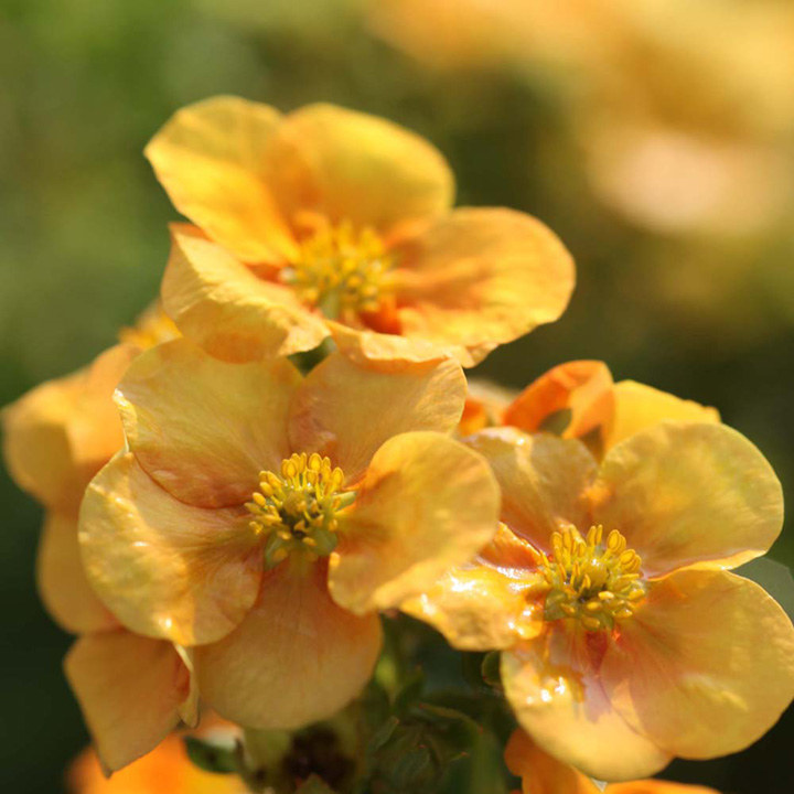 Potentilla fruticosa Plant - Medicine Wheel Mountain