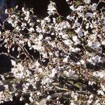 Prunus incisa Plant - Kojo-No-Mai-Noble