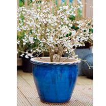 Prunus incisa Plant - Kojo-No-Mai-Noble