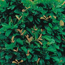 Prunus  laurocerasus Plant - Etna®