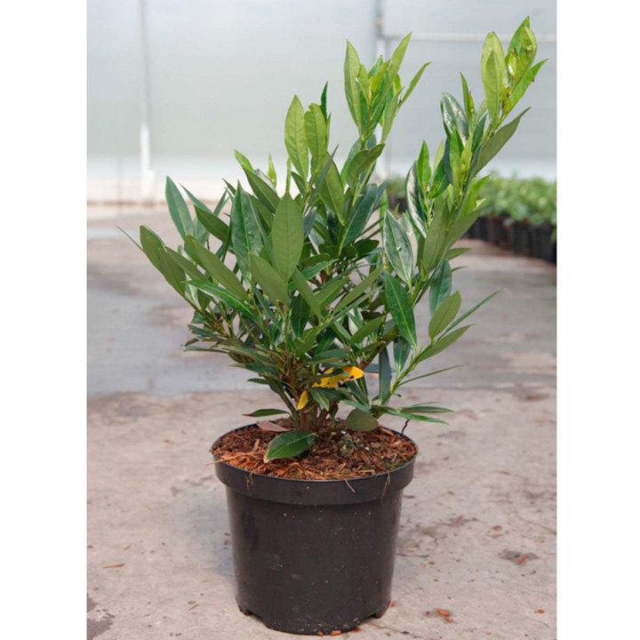 Prunus Lauroccerasus Plant - Otto Luyken