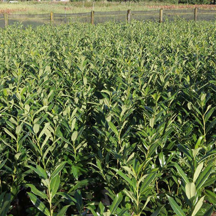 Prunus lusitanica Plant - Angustifolia