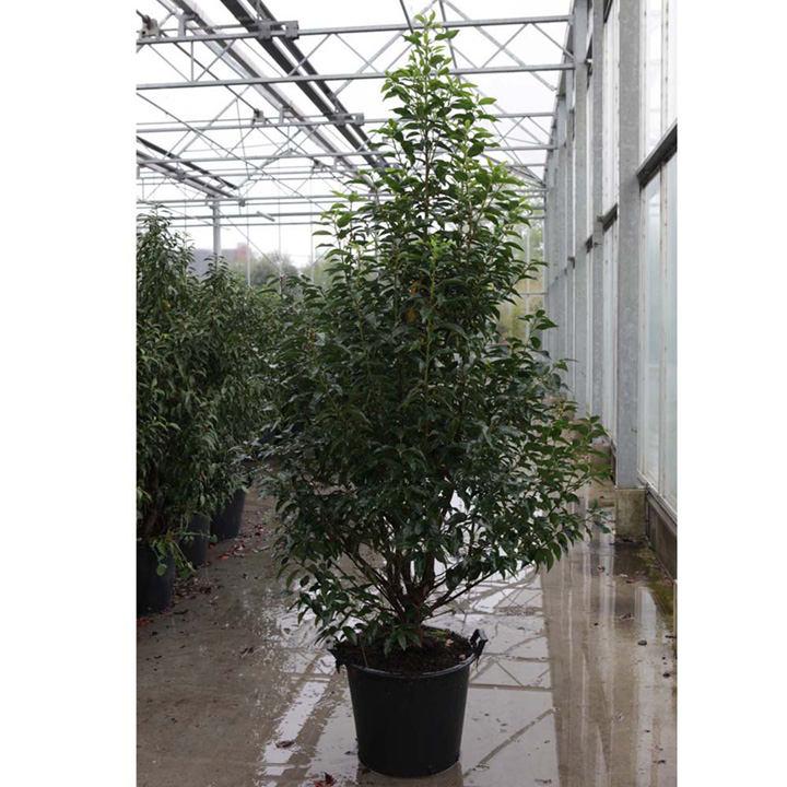 Prunus nipponica Plant - Brilliant