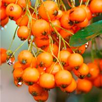 Pyracantha Plant - Golden Charmer