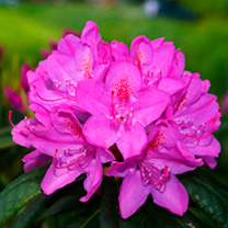 An evergreen azalea with a compact spreading habit. Blooming throughout April and May producing masses of magenta pink flowers. Height 90-100cm. Suppl