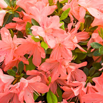 An evergreen azalea with a compact spreading habit. Salmon-pink flowers appear in April and May. Height 90-100cm. Supplied in a 2 litre pot.