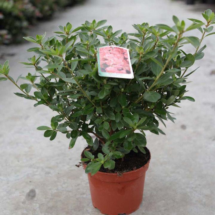 Rhododendron (AJ) Plant - Blaue Donau