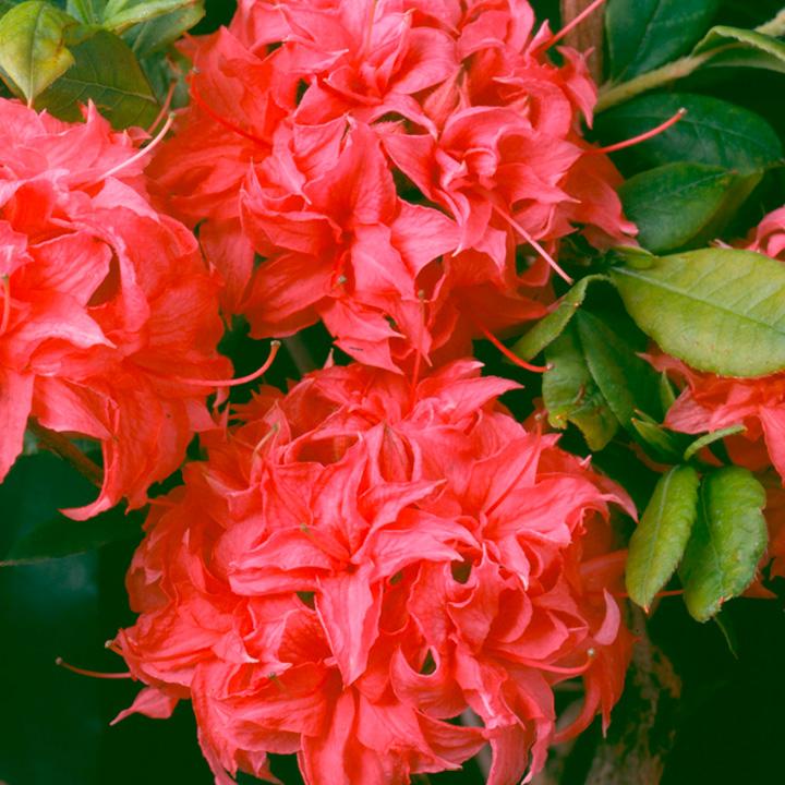 Rhododendron (AK) Plant - Homebush