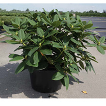 Rhododendron Plant - Gristede