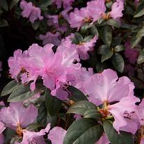 Rhododendron Plant - Praecox