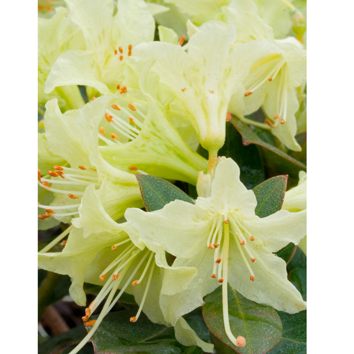 Rhododendron Plant - Shamrock