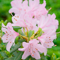 Rhododendron Plant - Snipe