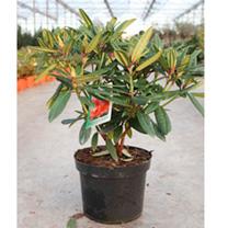 Rhododendron Plant - Tortoiseshell Orange