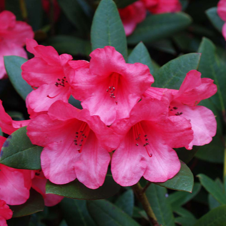 Rhododendron Plant - Winsome