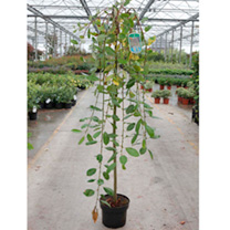 Salix caprea Plant - Kilmarnock