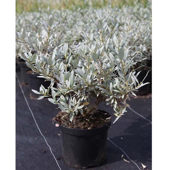 Salix integra Plant - Hakuro-nishiki