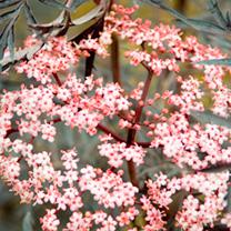Sambucus nigra Plant - Black Lace®