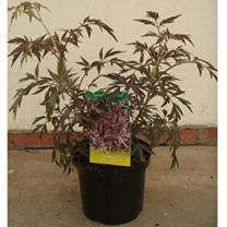 Sambucus nigra Plant - Black Tower