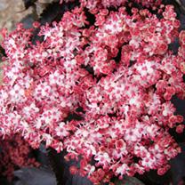 Sambucus nigra Plant -Thundercloud