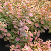 Spiraea betufolia Plant - Tor Gold