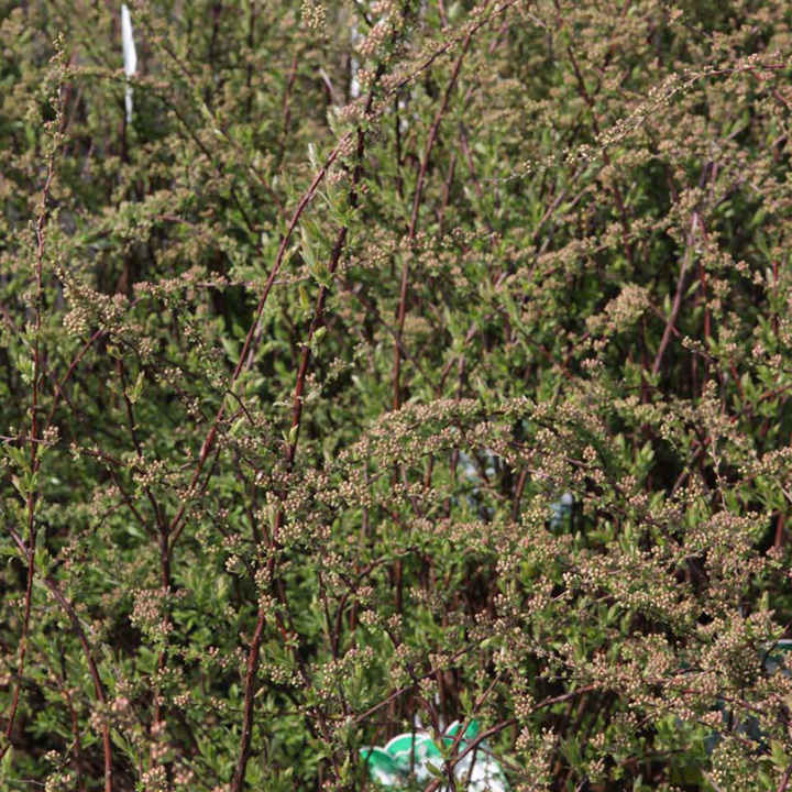 Spiraea cinerea Plant - Grefsheim