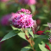 Spiraea japonica Plant - Double Play Big Bang