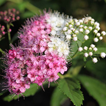 Spiraea japonica Plant - Green & Gold®