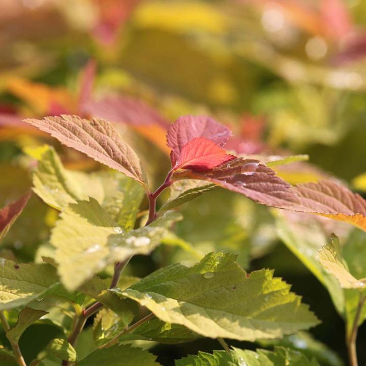 Spiraea japonica Plant - Pink Parasols®