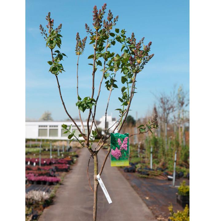 Syringa vulgaris Plant - Belle de Nancy