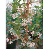 Ulmus holl. Plant - Wredei
