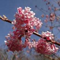 Viburnum bodnantense Plant - Charles Lamont