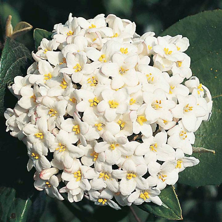 Viburnum burkwoodii Plant