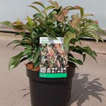 Viburnum hillieri Plant - Winton